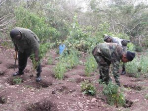 Officers of the Special Task Force, Nevis Police Division uprooting the juvenile marijuana trees in the heights of Nevis