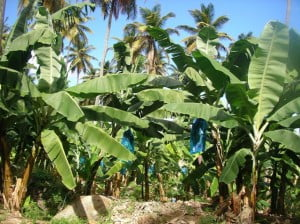 A once vital crop for the West Indies now relegated to a status not far from a cultural pastime