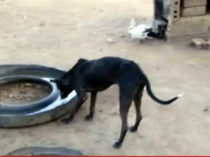 #canine #guyana #disease #danger #rspca