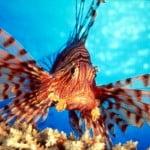 lion fish adventureantigua
