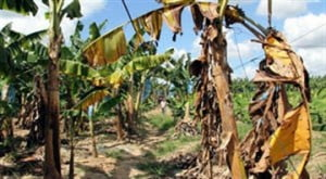 According to the Food and Agriculture Organisation of the United Nations 'The threat: Fusarium wilt disease is among the most destructive diseases of the banana plant.