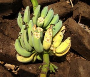 {IMAGE VIA - unmultimedia.org} TR4 infects the Cavendish banana varieties, which dominate global trade, as well as other susceptible varieties used for local consumption and markets. Despite damage to the banana plant and to production, the fruit itself remains edible.