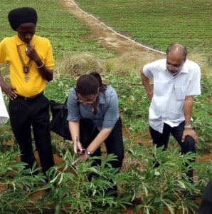 Ambassador Perez of Cuba and Dr. J.R. Deep Ford, FAO Subregional Coordinator take a closer look at a local cassava crop - FAO leads effort to attract support for regional development initiative