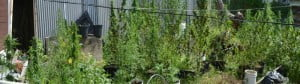 {RBPF FILE IMAGE} The plants ranged between 4 to 5 feet in height.