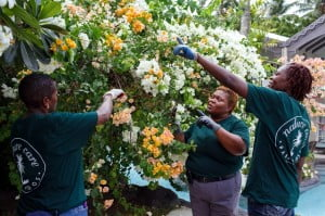 Nature Care gardeners (from left) Margaret Thomas and Denise Moore trim bougainvillea under the direction of head gardener, Sharon Smith-Callender at the Colony Club in St. James.