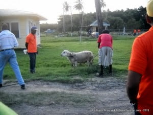 At the CARDI-hosted meeting, it was confirmed that small ruminants are a key focus for CARDI and have been identified (by the CARICOM Agriculture and Nutrition Security Cluster) on the short list of Regional priority commodities. A number of possible project areas were identified and these are being focused by a team from CARDI and IICA.