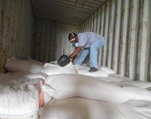 CARDI YC 001 SEED BEING PACKED AT CARDI BELIZE STATION FOR DELIVERY TO GRENADA