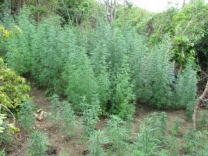 (R.B.P.F Image) 1,436 cannabis plants were discovered under cultivation hidden in bushy areas. The tallest being 10 feet; No arrests.