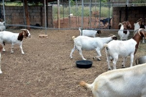 Training exercises in nutrition and feeding will be held later in the year to support the development of the goat and sheep sector.