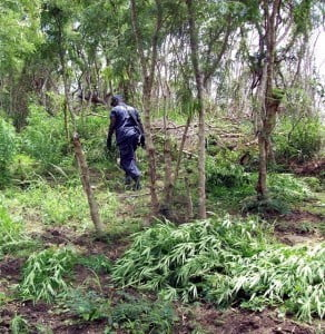 On Wednesday the 30th of September 2015, during a drug eradication exercise conducted by personnel from the Drug Squad, Tactical Response Unit (TRU), and the Barbados Defense Force (BDF) in the areas of College Savannah, Codington College, and Consett Bay St. John, along with Palmers St. Philip, netted a massive growing operation which resulted in 18,100 cannabis plants ranging from one (1) inch to seven (7) feet in height being seized. (FILE IMAGE - DEMO ONLY)