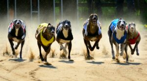 There was more maiden success for Janssens at Romford. His Goldies Hoddle strode to victory in the Golden Sprint back in March, landing the Belgian another £10k purse.