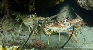 Infection with microsporidians and bacteria, on the other hand, were associated with muscle and tail fan necrosis that can seriously affect the commercial value of lobsters.